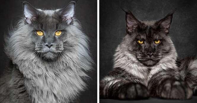 Fotógrafo captura imagens incríveis da mais fascinante raça de gatos domésticos do mundo