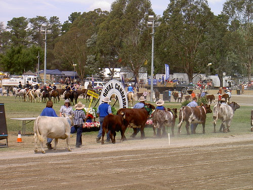 Champion cattle at the Canberra Show