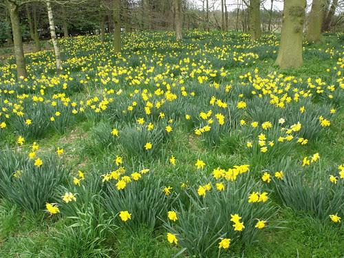 A field of wild daffodils on the church walk at Baddesley Clinton