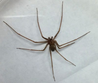 Brown Recluse Spider Found In Ten Michigan Counties Michigan Radio
