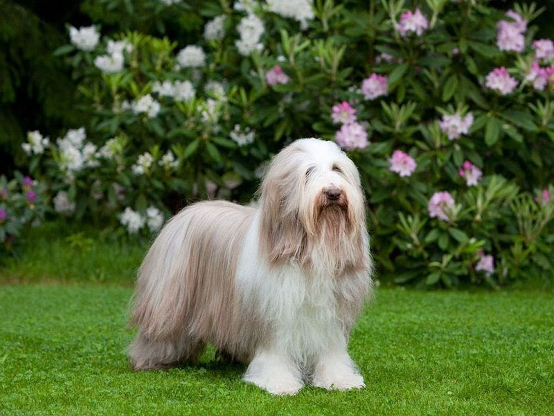 Bearded Collie (barded Collie)