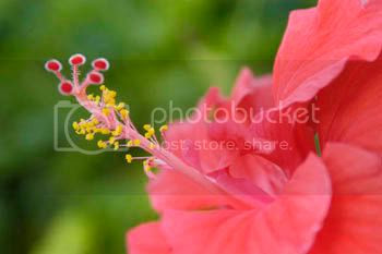 Red and pink Bahama flowers