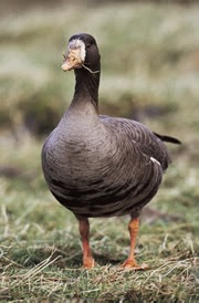 Male Greenland white-fronted goose.
