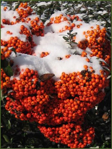 04 snow on red berries