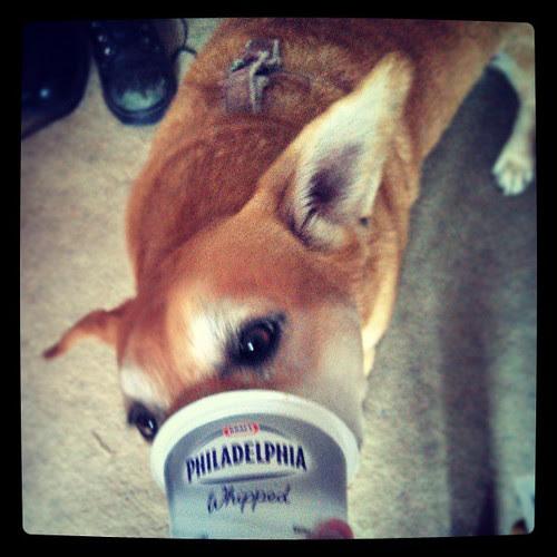 #dogstagram #happydog #creamcheese #yumo #adoptdontshop #foster
