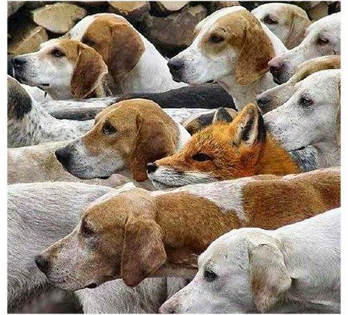 Matilhas - Raposa Cães