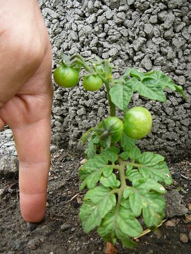 Tomaten 2007 (07)