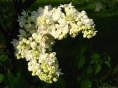 White Lilac blossom 4