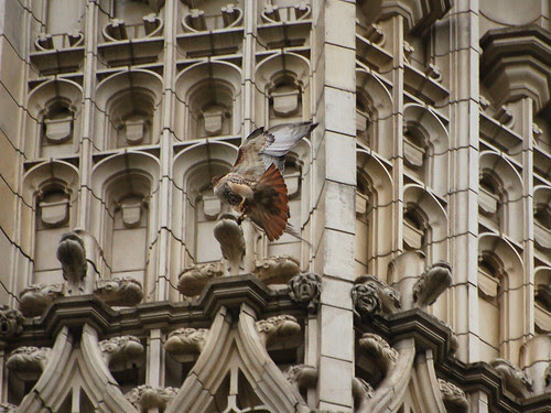 CCNY Red-Tail
