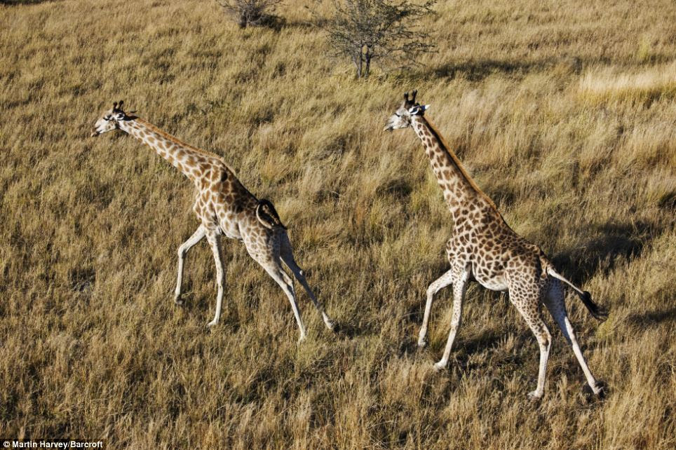Out for a stroll: Martin Harvey snapped these two giraffe as they made their way across grassland in Botswana
