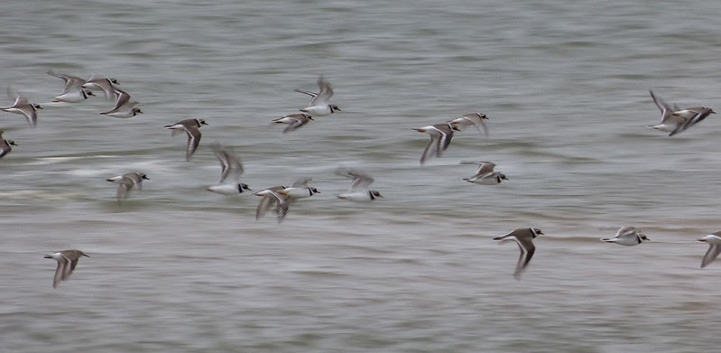 P1060388 - Ringed Plovers, Burry Port