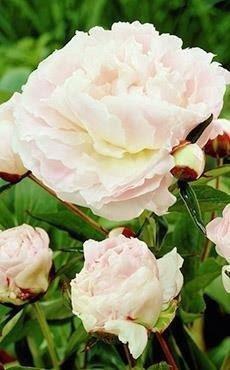 Piwonia chińska Peonia Shirley Temple biało kremowa