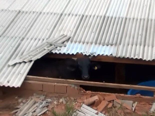Boi caiu de barranco e foi parar dentro de uma casa em Cambuí (Foto: Reprodução EPTV)