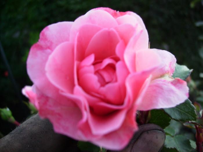 2006-08-18_rosenbluete_rosa