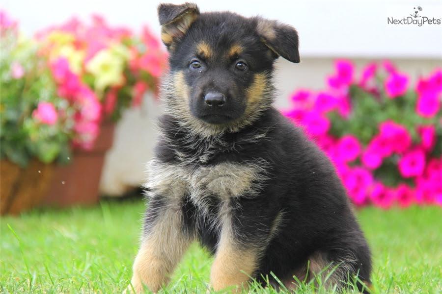 Buy German Shepherd puppy for sale near me in India