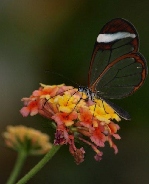 Волшебный взмах прозрачного крыла стеклянной бабочки (14 фото)