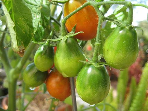 Austin Pear Tomato