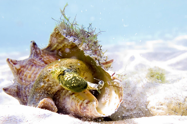 Conch Princess