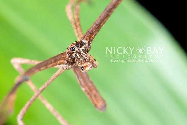 Net-Casting Spider (Deinopidae) - DSC_6110