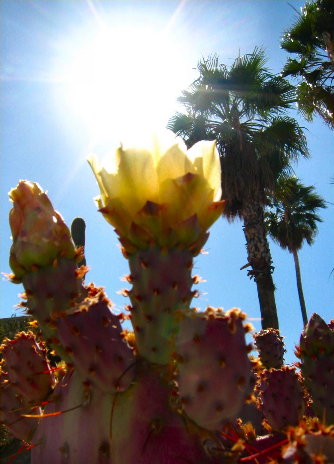 Pear Cactus Flower backlit by Sun. Photo - soul-amp.com