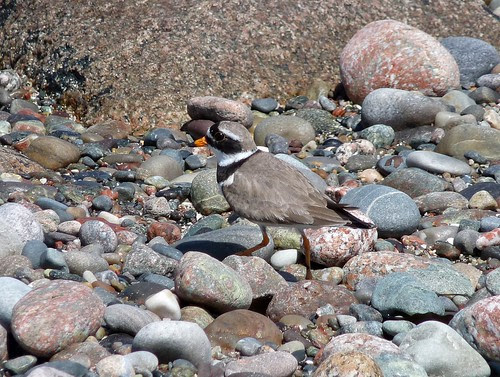 12655 - Ringed Plover on Iona