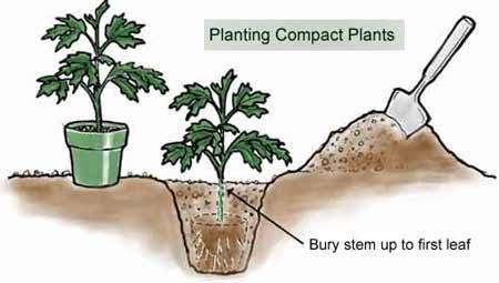 Transplanting Tips - Garden.org