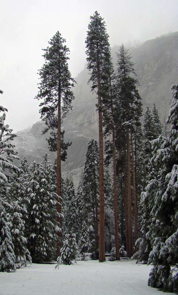 DSC03989 Yosemite Tall Trees in the Mist