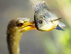 perierga.gr - Έξυπνο πουλί πηγαίνει για... ψάρεμα!