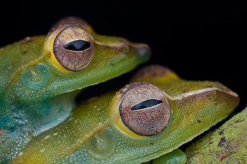 Rhacophorus dulitensis, Mount Dulit Treefrog...IMG_9171 copy