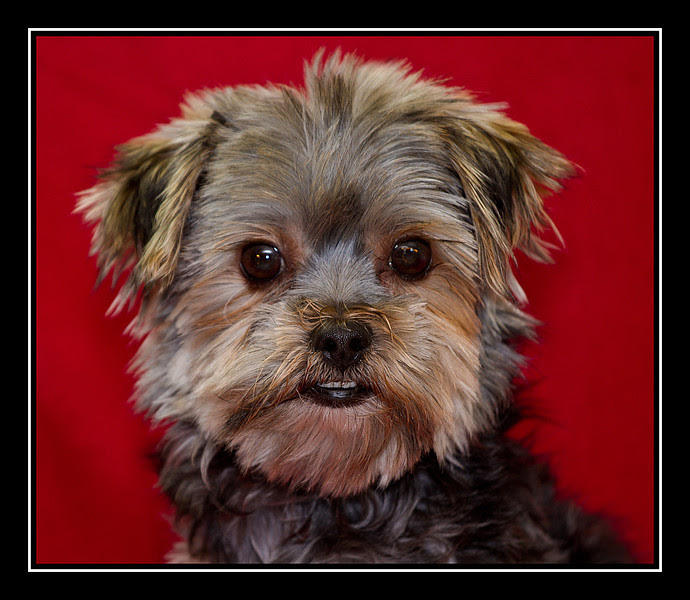 Maltese Puppies Montana USA