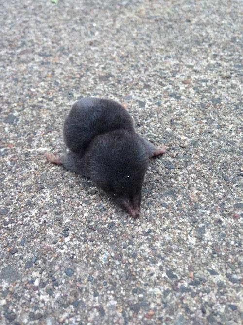 Baby Mole Animal