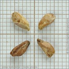 Abies lasiocarpa seeds - Jodła górska nasiona