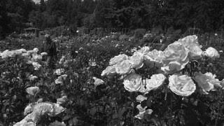 Portland - International Rose Test Garden