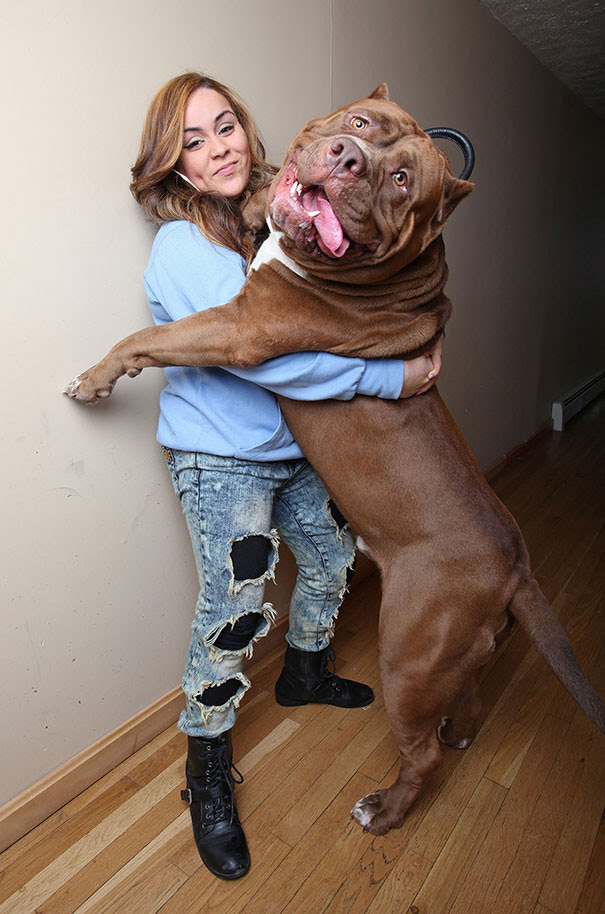 8. Meet, is the Hulk.  Probably the biggest in the world the size of a pit bull dog