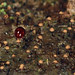 round fungus beetle with slime mold