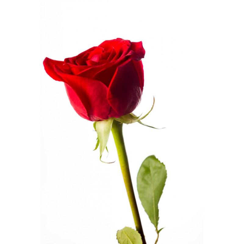 Rosa Roja Suelta Floristería El Vergel