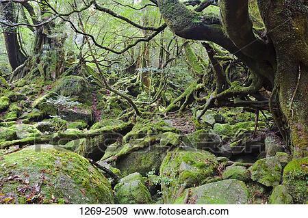 Resultado de imagem para Ilha de Yakushima, Japão