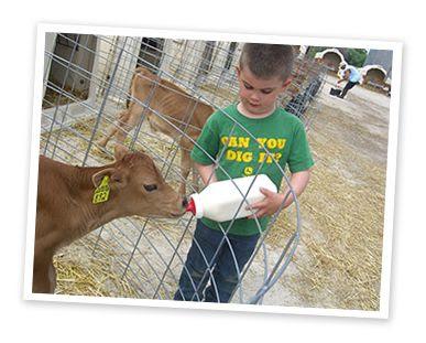 Bottle feeding calves are part of the daily chores at Bohnert ...