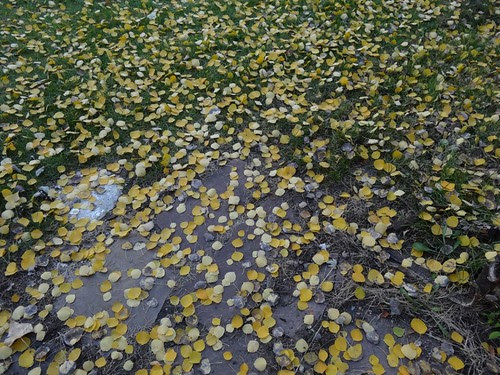 gold coin leaves