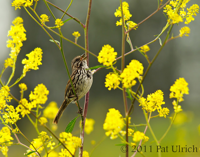 Song sparrow sings in wildflowers - Pat Ulrich Wildlife Photography