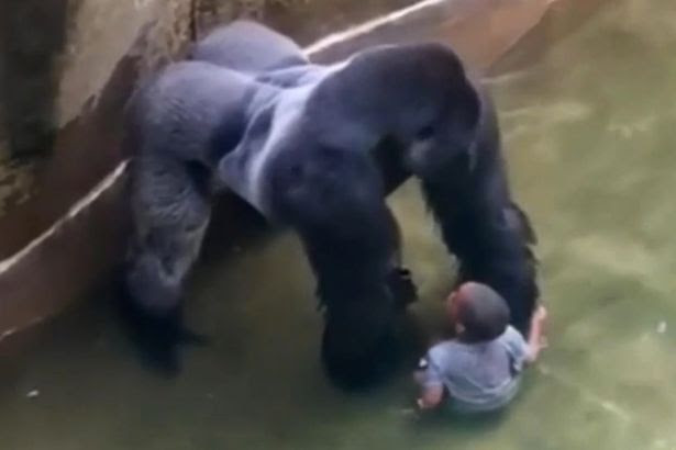 Harambe, a male silverback gorilla at Cincinnati Zoo