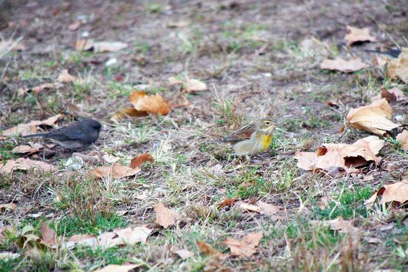 Ed Gaillard: birds &emdash; Dickcissel and Junco, Inwood Hill Park