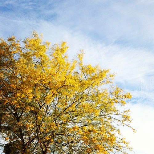 Yellow Palo Verde blossoms...signs of Spring in the desert.