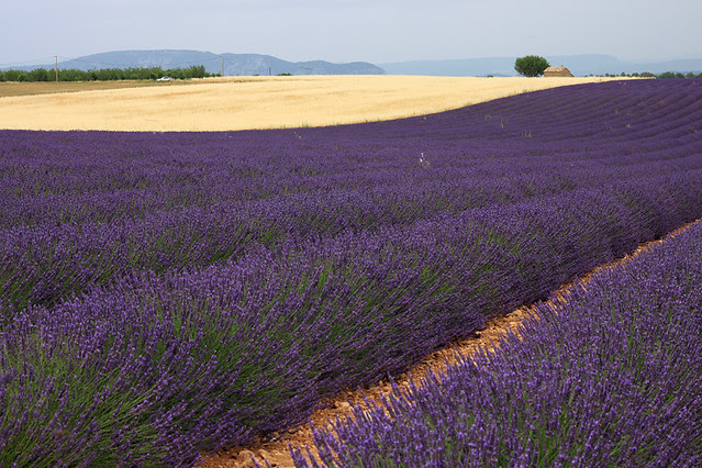 Wheat fields contrasting with lavender in Provence, France