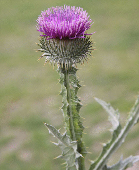 Agpest Other Thistle Species