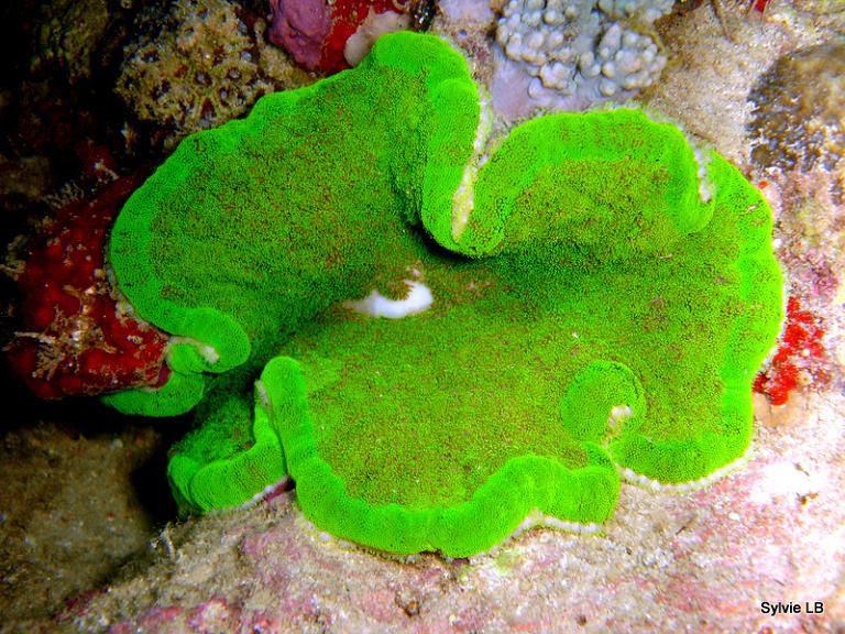 http://a407.idata.over-blog.com/0/51/76/70/Plongees-2010-3/Anemone-mer-Cryptodendron-adhesivum-01.jpg