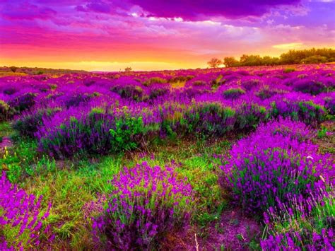 landscape field  purple spring flowers beautiful