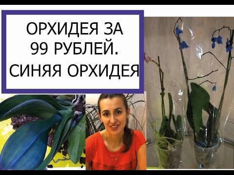 ОХИДЕИ ЗА 99 УБЛЕЙ СИНЯЯ ОХИДЕЯ/ SALE ORCHIDS BLUE ORCHID
