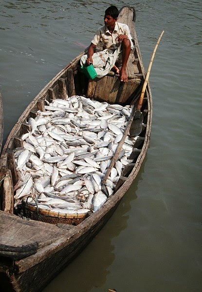 File:Hilsha Fish Boatload.jpg