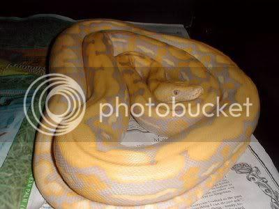 Lavender Albino Python (Betina)